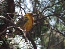 Pájaro amarillo-naranja entre las ramas imagen de archivo