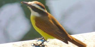 Pájaro amarillo que se coloca sobre una superficie concreta imagenes de archivo