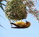 Pájaro amarillo. Tejedor del cabo. Imagen de archivo