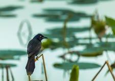 Pájaro americano del estornino en el lago Imágenes de archivo libres de regalías