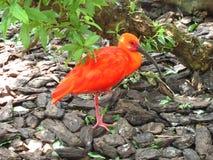 Pájaro anaranjado Fotos de archivo libres de regalías