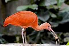 Pájaro anaranjado Imagenes de archivo