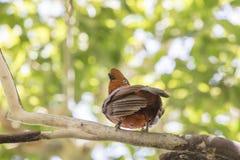 Pájaro andino de la Gallo-de--roca encaramado en una rama imagen de archivo
