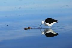 Pájaro andino del avocet en el desierto de Atacama Foto de archivo libre de regalías