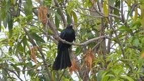 Pájaro asiático del koel en rama en selva tropical tropical almacen de metraje de vídeo