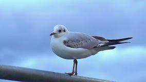 Pájaro asustado que se escapa del birdwatcher curioso, afición salvaje de la observación de naturaleza almacen de metraje de vídeo