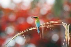 Pájaro atado azul del comedor de abeja [philippinus del Merops] Imagen de archivo