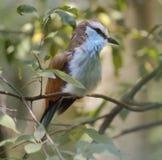 Pájaro atado raqueta del rodillo fotografía de archivo