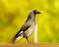 Pájaro australiano Fotos de archivo