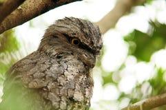 Pájaro australiano Imagen de archivo libre de regalías