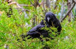 Pájaro australiano del cuervo foto de archivo