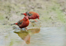 Pájaro (Avadavat rojo), Tailandia Fotografía de archivo