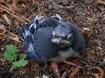 Pájaro azul Foto de archivo