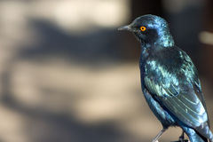 Pájaro azul Imagen de archivo libre de regalías