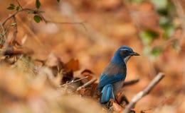 Pájaro azul Fotos de archivo