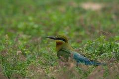 pájaro Azul-atado del Abeja-comedor en la tierra de la arena Fotografía de archivo