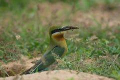 pájaro Azul-atado del Abeja-comedor en la tierra de la arena Fotos de archivo libres de regalías