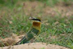 pájaro Azul-atado del Abeja-comedor en la tierra de la arena Imagenes de archivo
