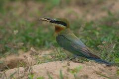 pájaro Azul-atado del Abeja-comedor en la tierra de la arena Foto de archivo libre de regalías