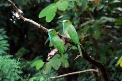 pájaro Azul-barbudo del Abeja-comedor Foto de archivo libre de regalías