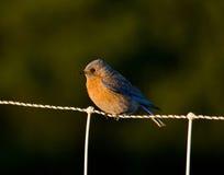 Pájaro azul breasted rojo Imágenes de archivo libres de regalías