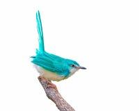 Pájaro azul claro en rama Fotos de archivo