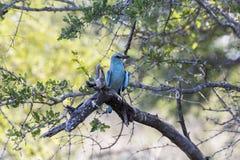 Pájaro azul colorido en el parque de Kruger, Suráfrica Imágenes de archivo libres de regalías