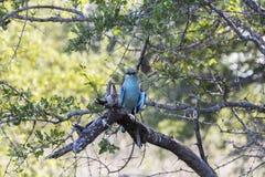 Pájaro azul colorido en el parque de Kruger, Suráfrica Imagen de archivo