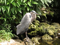 Pájaro azul de la garza Foto de archivo