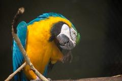 Pájaro azul del macaw del oro en cierre para arriba en un refugio de aves en la India Fotografía de archivo