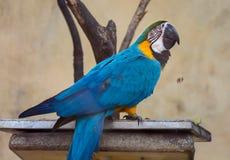 Pájaro azul del macaw del oro en un recinto en un refugio de aves en la India Fotos de archivo