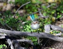 Pájaro azul del Wren Fotografía de archivo