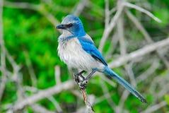Pájaro azul en la ramificación Foto de archivo libre de regalías