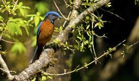 Pájaro azul en luz de oro: Tordo capsulado azul de la roca Foto de archivo