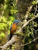 Pájaro azul en luz de oro: Tordo capsulado azul de la roca Fotografía de archivo