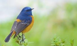 Pájaro azul en un fondo verde limpio imagen de archivo libre de regalías