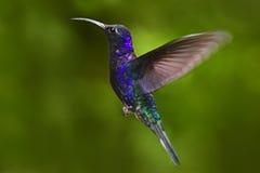 Pájaro azul grande que vuela Violet Sabrewing con el fondo verde borroso Colibrí en mosca Colibrí del vuelo Escena de la fauna de Imágenes de archivo libres de regalías