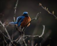 Pájaro azul Himalayan fotos de archivo libres de regalías