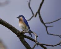 Pájaro azul masculino en el puesto de observación Fotografía de archivo