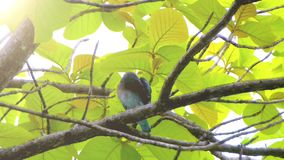 Pájaro azul que se sienta en el árbol y que se relaja almacen de video