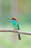 pájaro Azul-throated del Bee-eater Imagen de archivo