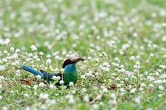 pájaro Azul-throated del Bee-eater Imagen de archivo libre de regalías