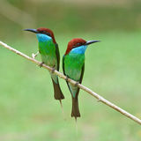 pájaro Azul-throated del Bee-eater Fotos de archivo libres de regalías
