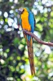 Pájaro azul y amarillo del loro Foto de archivo libre de regalías