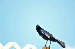 pájaro Barco-atado de Grackle en la cerca Imagen de archivo
