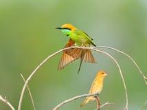 Pájaro (Bee-eater verde), Tailandia Fotografía de archivo