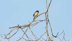 Pájaro birmano del alcaudón almacen de metraje de vídeo