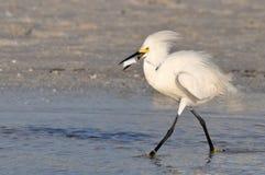Pájaro blanco con la comida Imagenes de archivo