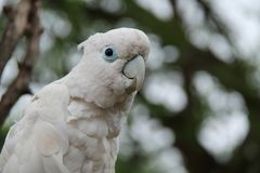 Pájaro blanco de la cacatúa Imagenes de archivo