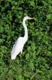 Pájaro blanco de la garza Imagen de archivo